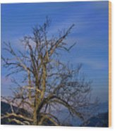 Centenary Chestnut At Blue Hour Wood Print