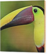 Chestnut Mandibled Toucan Wood Print