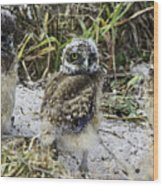 Chick Burrowing Owl  Wood Print