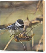 Chickadee-11 Wood Print by Robert Pearson