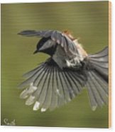 Chickadee In Flight Wood Print