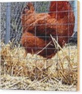 Chicken In The Straw Wood Print