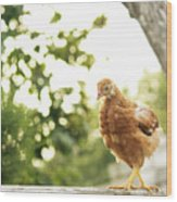 Chicken On Fence Wood Print