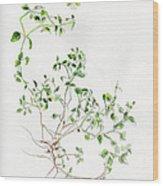 Chickweed Herb Wood Print