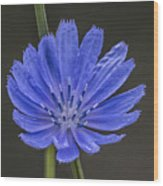 Chicory Flower Wood Print