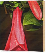 Chile's National Flower Copihue At Auto Museum In Moncopulli-chile  Wood Print