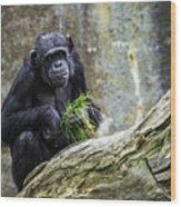Chimpanzee Foraging Wood Print