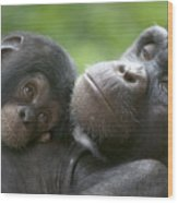 Chimpanzee Mother And Infant Wood Print