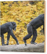 Chimpanzee Pair IIi Wood Print