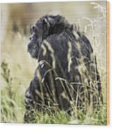Chimpanzee Sitting In The Grass Wood Print
