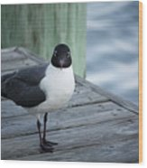 Chincoteague Island - Great Black-headed Gull Wood Print