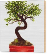 Chinese Elm Bonsai Tree Wood Print