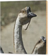 Chinese Geese Anser Cygnoides At Zoo Wood Print