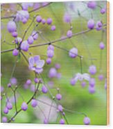 Chinese Meadow Rue Flowers Opening Wood Print