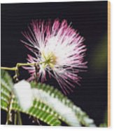 Chinese Silk Blossom Wood Print