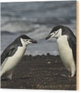 Chinstrap Penguin Duo Wood Print