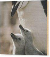 Chinstrap Penguin Pygoscelis Antarctica Wood Print