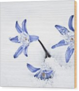 Chionodoxa - Glory Of The Snow Wood Print