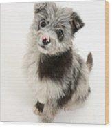 Chipoo Puppy Wood Print