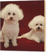 Chloe And Jolie The Bichon Frises Wood Print by Michael Ledray