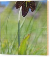 Chocolate Lily Two Wood Print