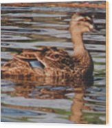 Christchurch New Zealand Grey Duck Wood Print