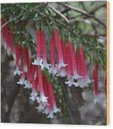 Christmas Bells 1 - Australian Native Fuchsia Wood Print
