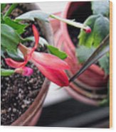 Christmas Cactus Bloom Wood Print
