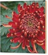Christmas Chrysanthemum Wood Print