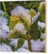 Christmas Rose April 25 Wood Print