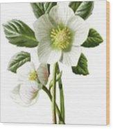 Christmas Rose Floral Illustration Wood Print