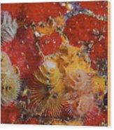 Christmas Tree Worms, Bonaire Wood Print
