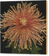 Chrysanthemum 'senkyo Kenshin' Wood Print