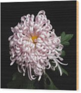 Chrysanthenmum 'satin Ribbon' Wood Print