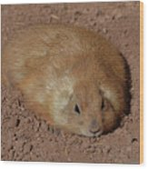 Chubby Prairie Dog Resting In A Shallow Hole Wood Print