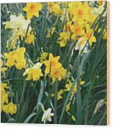 Circle Of Daffodils Wood Print