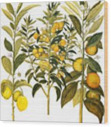 Citron And Orange, 1613 Wood Print