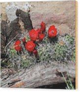 Claret Cup Cactus And Sandstone Wood Print