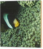 Clarks Anemonefish, Amphiprion Clarkii Wood Print by James Forte
