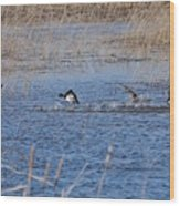 Cleared For Takeoff-ring-necked Ducks  Wood Print