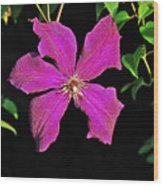 Clematis 2598 Wood Print