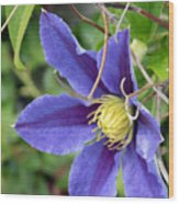 Clematis Blossom Wood Print