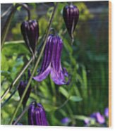 Clematis Flower Blossoms Wood Print