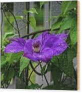 Clematis In Purple Wood Print