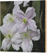Clematis Montana Rubens Group Wood Print