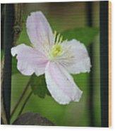 Clematis Montana Rubens Vine Wood Print