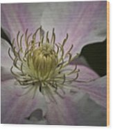 Clematis Study 1 Wood Print
