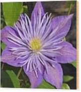 Clematis 'sunnyside' Wood Print