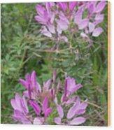 Cleome Sparkler Lavender Wood Print