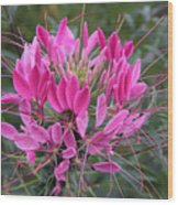 Cleome Spinosa  Wood Print